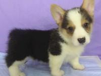 杭州养殖场出售 柯基 拉布拉多 萨摩耶 边牧等幼犬价格好商量