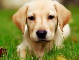 北京实体犬舍专业繁殖纯种、保健康签协议可配种