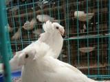 滨州出售自家养的观赏鸽肉鸽元宝鸽