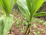 白芨种植技术种苗块茎批发