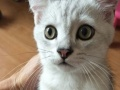 自家养的银渐层长毛立耳折耳金吉拉猫