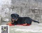 宜昌罗威纳 纯种罗威纳多少钱 罗威纳犬舍 罗威纳图片