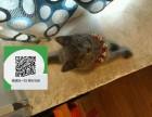 东莞哪里开猫舍卖蓝猫 去哪里可以买得到纯种蓝猫