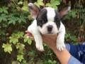 本地繁殖的宠物狗,打算改行了,小狗都便宜卖