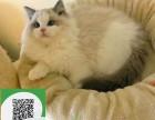 镇江哪里有布偶猫出售 镇江布偶猫价格 镇江宠物猫转让出售