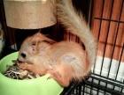 出售各种松鼠及蜜袋鼯 宠物狐狸
