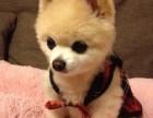 出售哈多利球形博美幼犬网红俊介/茶杯体/包纯种健康