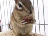 一批魔王松鼠金花松鼠小飞鼠 长期有效