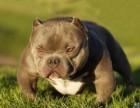 出售纯种恶霸犬 恶霸幼犬 品质好信誉高质量保