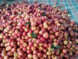 北京毛桃种植基地在那 山东省油桃批发价格\今日大棚油桃价格