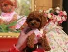 重庆专业养的泰迪熊包纯种 包健康 疫苗已经做完