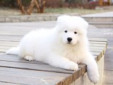 银川纯种萨摩耶价格,银川哪里能买到纯种萨摩耶犬