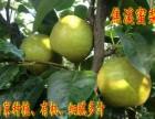 常州市焦溪镇特产翠冠梨 蜜梨自产自销60元一箱