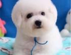 哪里出售比熊幼犬小狗比熊多少钱一只比熊图片