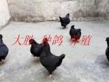 武汉市黑色元宝鸽贴吧元宝鸽/特大元宝鸽 圆环价格_元宝鸽图片