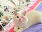 深圳布偶猫多少钱 深圳哪里出售的布偶猫幼犬价格较便宜