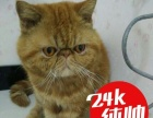 烏市本地成年加菲貓