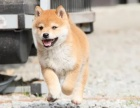 重庆哪里出售柴犬 重庆宠物店信誉好