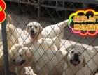 正规犬舍出售 拉拉犬 纯种健康签订协议