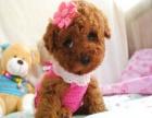超可爱的小体玩具迷你泰迪熊宝宝出售保证健康保证纯种