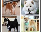 出售纯种高品质 柴犬 健康可来基地挑选