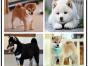 哪里出售纯种高品质 柴犬 健康可来基地挑选