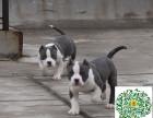 哪里有比特犬的,比特犬多少钱一只