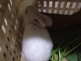 宠物兔廉价出售
