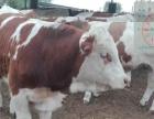 养牛合作社肉牛场出售小肉牛犊,牛的品种纯