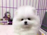 博美犬宠物狗纯种幼犬出售茶杯袖珍英系哈多利俊介白色赛级