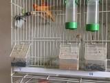出今年辣椒红 红桂皮小鸟 上海地铁11号线嘉定西附近,自提
