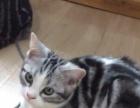 高颜值大骨量CFA美短虎斑加白小猫