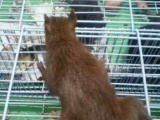 出售松鼠 个人饲养价格便宜