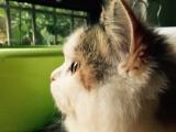 长猫波斯猫姐姐的五个可爱的孩子