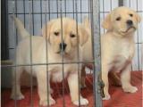 纯种拉布拉多幼犬活体拉布拉多神犬小七大骨架拉布拉多幼犬宠物狗