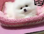 火爆推荐 萌系博美 哈多利球体博美犬 健康纯种质保