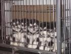 养殖场常年出售健康纯种阿拉斯加幼犬
