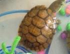 好看的巴西龟