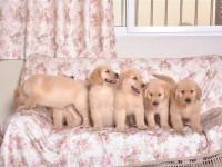 比较温顺的犬 金毛犬 大人小孩都喜欢 **金毛出售