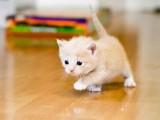 大同出售布偶猫 美短 可免费送猫上门