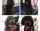 基地繁殖巨型贵宾犬,有公母颜色多选 巨贵幼犬包健康