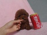 精品小玩具紅泰迪,毛量大,娃娃臉,顏色深紅品相絕佳