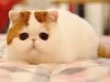 成都本地家养猫舍 纯血统 司芬克斯加拿大无毛猫