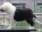 桂林纯种古代牧羊犬多少钱 在桂林什么地方能买到纯种古代牧羊犬