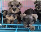 5图 纯种的迷你雪纳瑞幼犬,疫苗齐全,公母都有