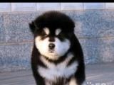 出售纯种阿拉斯加幼犬 自已家里大狗生的 疫苗做完