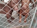 三明出售纯种比特犬欢迎上门挑选 售后健康有保障