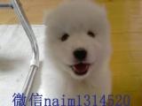 家养萨摩耶犬是白白的,小狗双眼皮也很聪明的