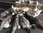 【个人家养】【美短加白】幼猫 价格可面议