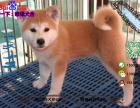 纯种健康的秋田犬多少钱一只在哪能买到